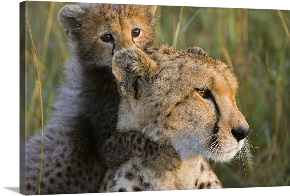 Large Gallery-Wrapped Canvas Wall Art Print 24 x 16 entitled Cheetah cub playing with mother, Maasai Mara Reserve, Kenya Gallery-Wrapped Canvas entitled Cheetah cub playing with mother Maasai Mara Reserve Kenya.  Cheetah eight week old cub playing with mother Maasai Mara Reserve Kenya Digitally removed grass in foreground.  Multiple sizes available.  Primary colors within this image include Silver Dark Forest Green.  Made in USA.  All products come with a 365 day workmanship guarantee.  Archival-quality UV-resistant inks.  Museum-quality artist-grade canvas mounted on sturdy wooden stretcher bars 1.5 thick.  Comes ready to hang.  Canvas frames are built with farmed or reclaimed domestic pine or poplar wood.