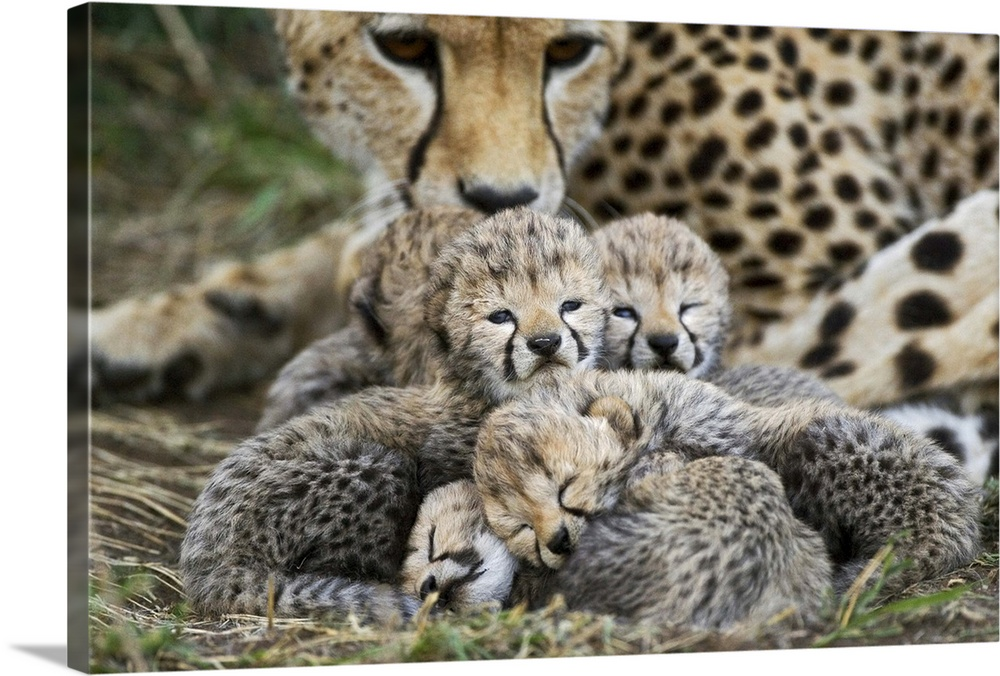 Large Gallery-Wrapped Canvas Wall Art Print 24 x 16 entitled Cheetah cubs curled up together with mother, Maasai Mara Rese... Gallery-Wrapped Canvas entitled Cheetah cubs curled up together with mother Maasai Mara Reserve Kenya.  Cheetah eight day old cubs curled up together in nest with mother in background Maasai Mara Reserve Kenya.  Multiple sizes available.  Primary colors within this image include Black Gray Silver.  Made in the USA.  All products come with a 365 day workmanship guarantee.  Inks used are latex-based and designed to last.  Canvas is acid-free and 20 millimeters thick.  Canvases are stretched across a 1.5 inch thick wooden frame with easy-to-mount hanging hardware.