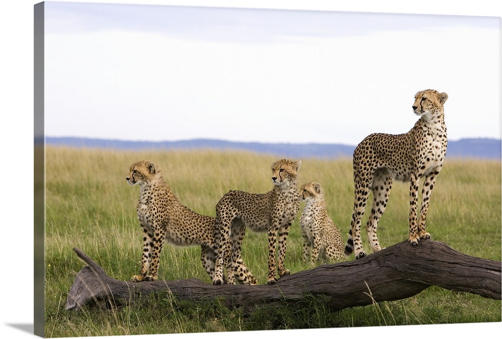 Large Gallery-Wrapped Canvas Wall Art Print 24 x 16 entitled Cheetah mother and 6 month old cubs, Masai Mara National Rese... Gallery-Wrapped Canvas entitled Cheetah mother and 6 month old cubs Masai Mara National Reserve Kenya.  Multiple sizes available.  Primary colors within this image include Peach Black White.  Made in USA.  Satisfaction guaranteed.  Inks used are latex-based and designed to last.  Canvases have a UVB protection built in to protect against fading and moisture and are designed to last for over 100 years.  Canvas frames are built with farmed or reclaimed domestic pine or poplar wood.