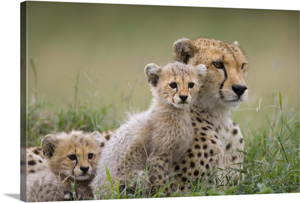 Large Gallery-Wrapped Canvas Wall Art Print 24 x 16 entitled Cheetah mother and cubs, Maasai Mara Reserve, Kenya Gallery-Wrapped Canvas entitled Cheetah mother and cubs Maasai Mara Reserve Kenya.  Cheetah mother and eight to nine week old cubs Maasai Mara Reserve Kenya.  Multiple sizes available.  Primary colors within this image include Forest Green Dark Gray Light Gray.  Made in USA.  Satisfaction guaranteed.  Archival-quality UV-resistant inks.  Canvas frames are built with farmed or reclaimed domestic pine or poplar wood.  Canvases have a UVB protection built in to protect against fading and moisture and are designed to last for over 100 years.