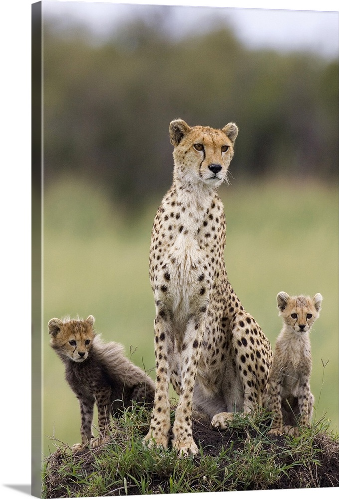 Large Gallery-Wrapped Canvas Wall Art Print 16 x 24 entitled Cheetah mother and cubs, Maasai Mara Reserve, Kenya Gallery-Wrapped Canvas entitled Cheetah mother and cubs Maasai Mara Reserve Kenya.  Cheetah mother and eight to nine week old cubs Maasai Mara Reserve Kenya.  Multiple sizes available.  Primary colors within this image include Black Gray White.  Made in USA.  Satisfaction guaranteed.  Inks used are latex-based and designed to last.  Canvases have a UVB protection built in to protect against fading and moisture and are designed to last for over 100 years.  Canvas is a 65 polyester 35 cotton base with two acrylic latex primer basecoats and a semi-gloss inkjet receptive topcoat.