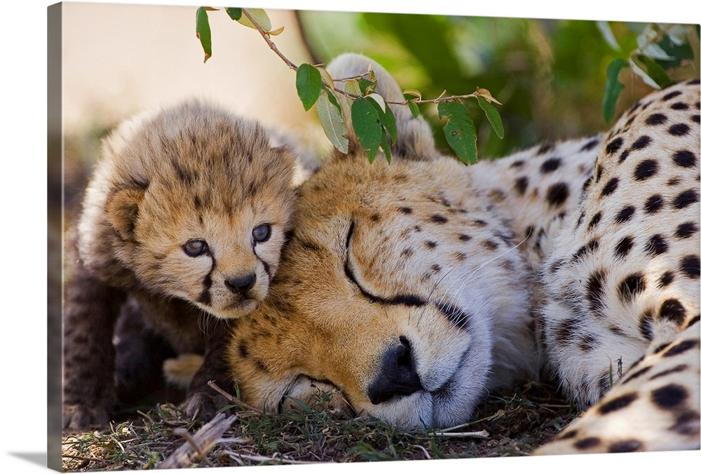 Large Gallery-Wrapped Canvas Wall Art Print 24 x 16 entitled Cheetah mother and seven day old cub, Maasai Mara Reserve, Kenya Gallery-Wrapped Canvas entitled Cheetah mother and seven day old cub Maasai Mara Reserve Kenya.  A cheetah cup snuggling with their sleeping mother at the Maasai Mara Reserve Kenya. .  Multiple sizes available.  Primary colors within this image include Forest Green Dark Gray Silver.  Made in USA.  All products come with a 365 day workmanship guarantee.  Archival-quality UV-resistant inks.  Canvas frames are built with farmed or reclaimed domestic pine or poplar wood.  Canvases have a UVB protection built in to protect against fading and moisture and are designed to last for over 100 years.