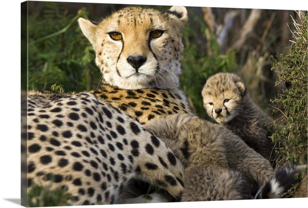 Large Gallery-Wrapped Canvas Wall Art Print 24 x 16 entitled Cheetah mother and thirteen day old cubs in nest, Maasai Mara... Gallery-Wrapped Canvas entitled Cheetah mother and thirteen day old cubs in nest Maasai Mara Reserve Kenya.  Multiple sizes available.  Primary colors within this image include Peach Dark Forest Green.  Made in USA.  Satisfaction guaranteed.  Inks used are latex-based and designed to last.  Canvas frames are built with farmed or reclaimed domestic pine or poplar wood.  Canvases are stretched across a 1.5 inch thick wooden frame with easy-to-mount hanging hardware.