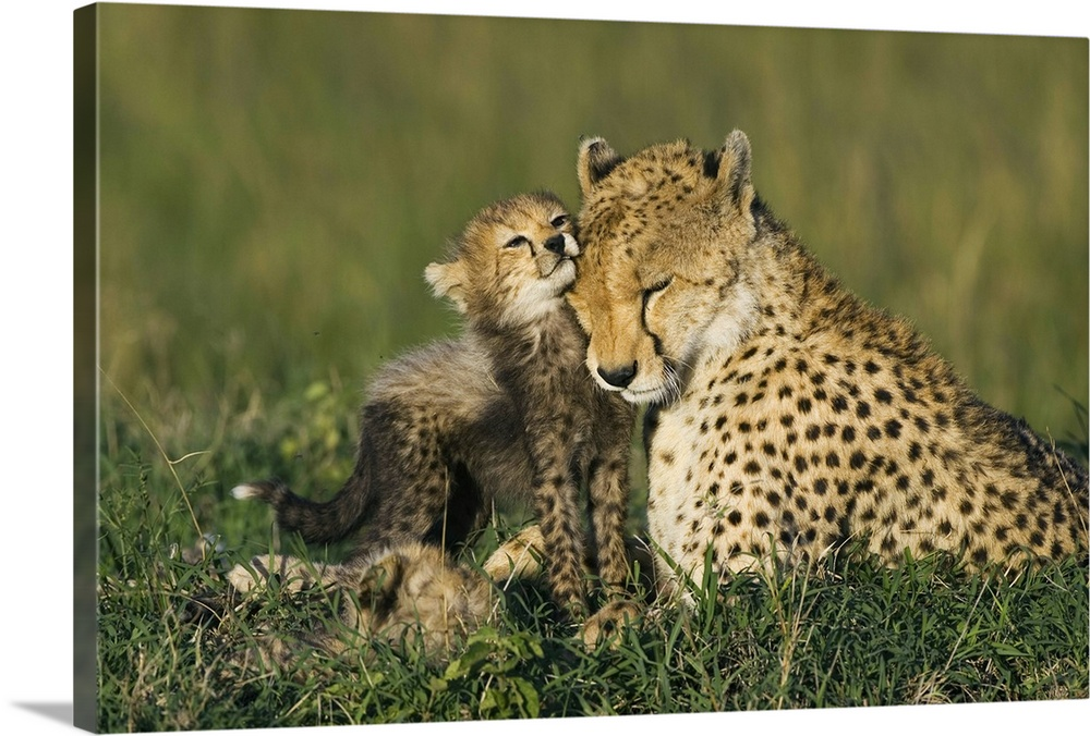 Large Gallery-Wrapped Canvas Wall Art Print 24 x 16 entitled Cheetah mother interacting with cubs, Maasai Mara Reserve, Kenya Gallery-Wrapped Canvas entitled Cheetah mother interacting with cubs Maasai Mara Reserve Kenya.  Cheetah mother interacting with eight to nine week old cubs Maasai Mara Reserve Kenya.  Multiple sizes available.  Primary colors within this image include Black Gray.  Made in the USA.  All products come with a 365 day workmanship guarantee.  Archival-quality UV-resistant inks.  Canvas frames are built with farmed or reclaimed domestic pine or poplar wood.  Canvas is a 65 polyester 35 cotton base with two acrylic latex primer basecoats and a semi-gloss inkjet receptive topcoat.