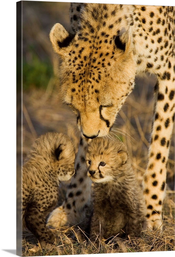 Large Gallery-Wrapped Canvas Wall Art Print 16 x 24 entitled Cheetah mother nuzzles seven day old cubs, Maasai Mara Reserv... Gallery-Wrapped Canvas entitled Cheetah mother nuzzles seven day old cubs Maasai Mara Reserve Kenya.  Multiple sizes available.  Primary colors within this image include Black Gray Silver.  Made in USA.  Satisfaction guaranteed.  Inks used are latex-based and designed to last.  Canvas is designed to prevent fading.  Canvas is acid-free and 20 millimeters thick.