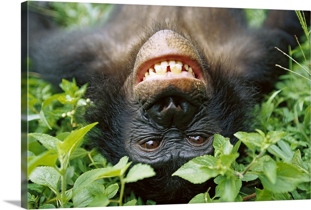 Large Gallery-Wrapped Canvas Wall Art Print 24 x 16 entitled Chimpanzee, Democratic Republic of the Congo Gallery-Wrapped Canvas entitled Chimpanzee Democratic Republic of the Congo.  This large photograph is of a chimpanzee smiling while laying on ground and looking back at the camera.  Multiple sizes available.  Primary colors within this image include Forest Green Light Green Black White.  Made in USA.  Satisfaction guaranteed.  Archival-quality UV-resistant inks.  Canvas frames are built with farmed or reclaimed domestic pine or poplar wood.  Canvases have a UVB protection built in to protect against fading and moisture and are designed to last for over 100 years.