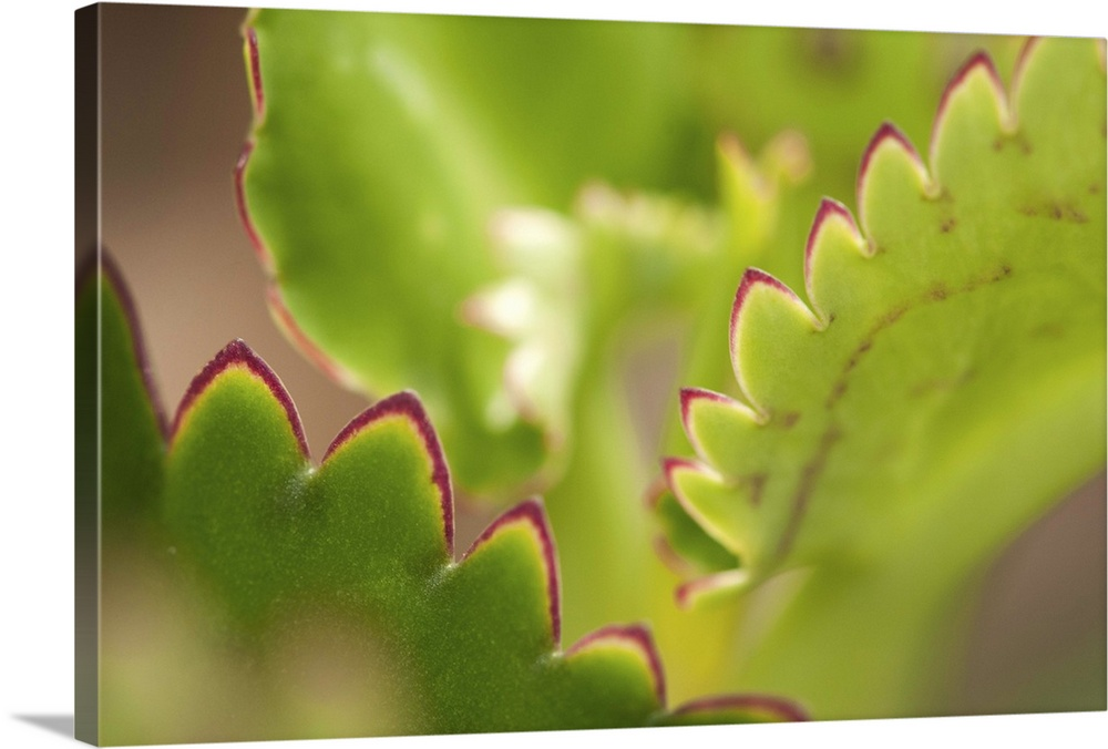 Large Gallery-Wrapped Canvas Wall Art Print 24 x 16 entitled Close up of mother of thousands leaves, Kalanchoe daigremontiana Gallery-Wrapped Canvas entitled Close up of mother of thousands leaves Kalanchoe daigremontiana.  Close up of mother of thousands leaves Kalanchoe daigremontiana.  Multiple sizes available.  Primary colors within this image include Dark Yellow Forest Green Peach Dark Forest Green.  Made in the USA.  Satisfaction guaranteed.  Archival-quality UV-resistant inks.  Canvas is acid-free and 20 millimeters thick.  Museum-quality artist-grade canvas mounted on sturdy wooden stretcher bars 1.5 thick.  Comes ready to hang.