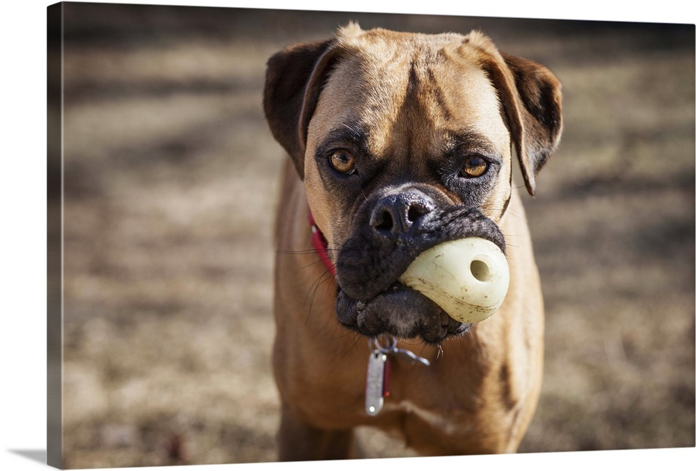 Large Solid-Faced Canvas Print Wall Art Print 30 x 20 entitled Close view of a rescued Boxer mix dog staring at the camera... Solid-Faced Canvas Print entitled Close view of a rescued Boxer mix dog staring at the camera with a chew toy in his mouth.  Annandale, Fairfax County, Virginia, USA.  Multiple sizes available.  Primary colors within this image include Plum, Dark Gray, Light Gray.  Made in USA.  All products come with a 365 day workmanship guarantee.  Archival-quality UV-resistant inks.  Canvas depth is 1.25 and includes a finished backing with pre-installed hanging hardware.  Canvas is handcrafted and made-to-order in the United States using high quality artist-grade canvas.