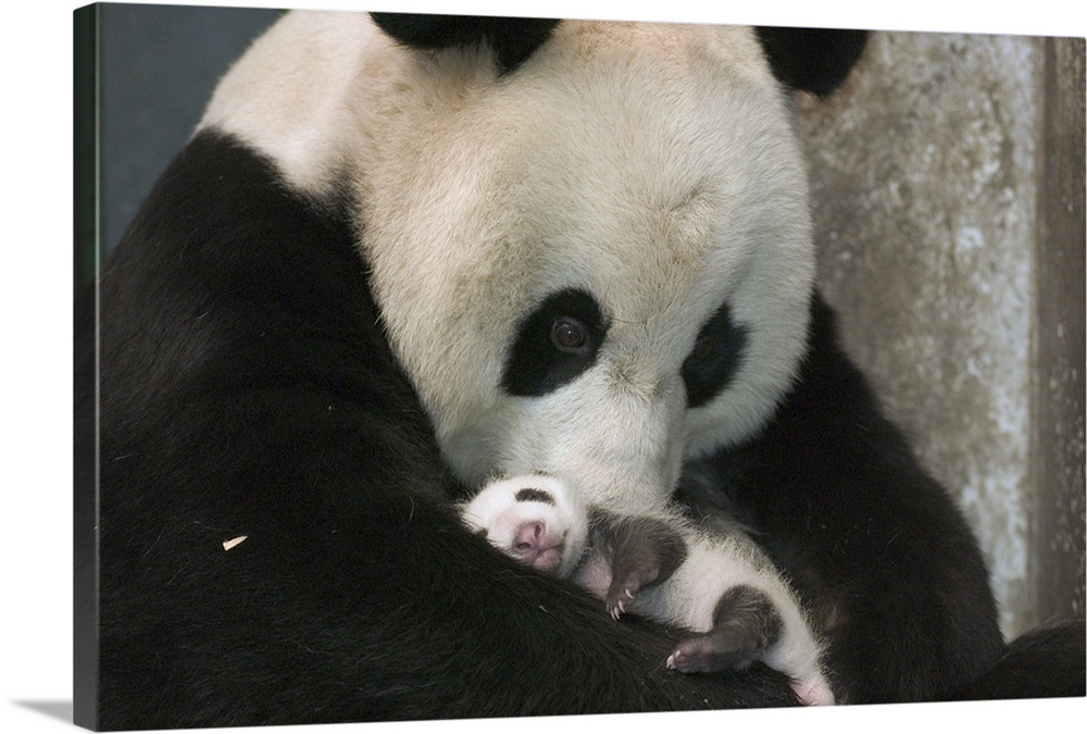 Large Gallery-Wrapped Canvas Wall Art Print 24 x 16 entitled Giant Panda mother and her cub at Wolong Nature Reserve, China Gallery-Wrapped Canvas entitled Giant Panda mother and her cub at Wolong Nature Reserve China.  Giant Panda endangered mother and her cub at the China Conservation and Research Center for the Giant Panda Wolong Nature Reserve China.  Multiple sizes available.  Primary colors within this image include Black Gray White.  Made in USA.  Satisfaction guaranteed.  Inks used are latex-based and designed to last.  Canvases are stretched across a 1.5 inch thick wooden frame with easy-to-mount hanging hardware.  Canvas is designed to prevent fading.
