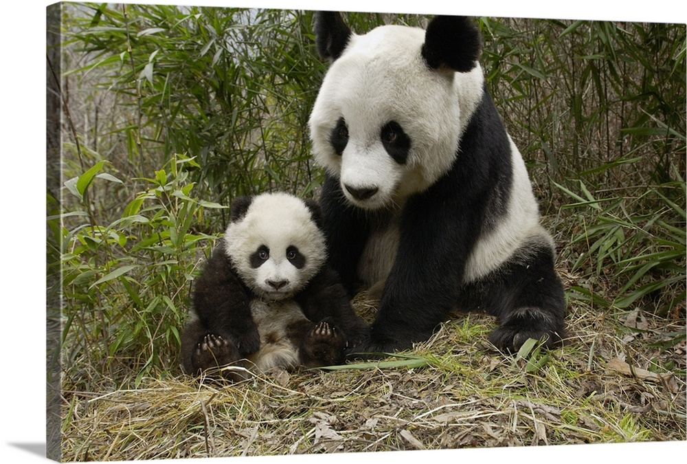 Large Gallery-Wrapped Canvas Wall Art Print 24 x 16 entitled Giant Panda mother and her cub at Wolong Nature Reserve, China Gallery-Wrapped Canvas entitled Giant Panda mother and her cub at Wolong Nature Reserve China.  Giant Panda endangered mother and her cub at the China Conservation and Research Center for the Giant Panda Wolong Nature Reserve China.  Multiple sizes available.  Primary colors within this image include Dark Yellow Gray Dark Forest Green.  Made in USA.  All products come with a 365 day workmanship guarantee.  Archival-quality UV-resistant inks.  Canvas is acid-free and 20 millimeters thick.  Canvases have a UVB protection built in to protect against fading and moisture and are designed to last for over 100 years.