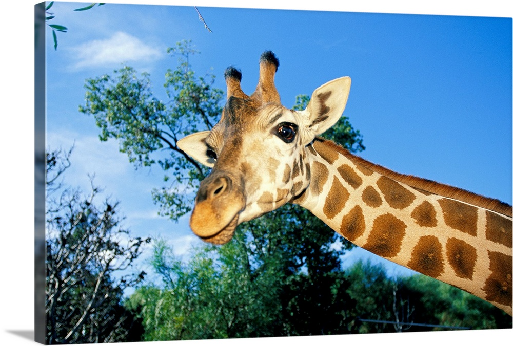 Large Gallery-Wrapped Canvas Wall Art Print 24 x 16 entitled Giraffe looking down into the camera, Australia Gallery-Wrapped Canvas entitled Giraffe looking down into the camera Australia.  Large landscape photograph from the National Geographic Collection of a giraffe from the neck up looking at the camera.  Treetops in the background against a blue sky in Australia.  Multiple sizes available.  Primary colors within this image include Brown Black Silver Royal Blue.  Made in the USA.  Satisfaction guaranteed.  Inks used are latex-based and designed to last.  Canvas is acid-free and 20 millimeters thick.  Canvases have a UVB protection built in to protect against fading and moisture and are designed to last for over 100 years.