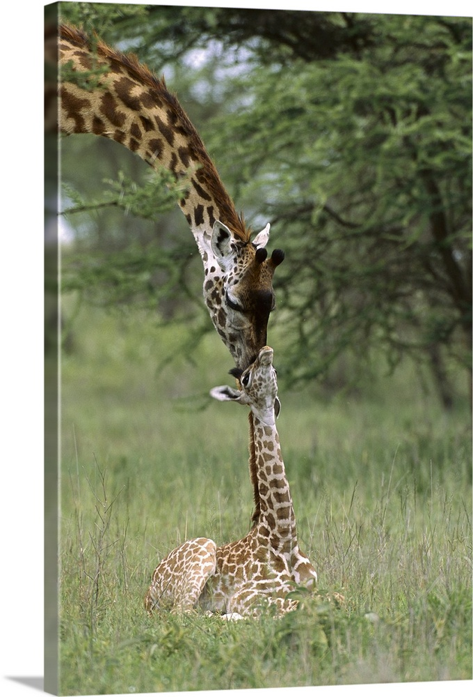 Large Gallery-Wrapped Canvas Wall Art Print 16 x 24 entitled Giraffe newborn calf and mother, Ngorongoro Conservation Area... Gallery-Wrapped Canvas entitled Giraffe newborn calf and mother Ngorongoro Conservation Area Tanzania.  Multiple sizes available.  Primary colors within this image include Black Silver Dark Forest Green.  Made in the USA.  All products come with a 365 day workmanship guarantee.  Inks used are latex-based and designed to last.  Canvas is designed to prevent fading.  Canvas is acid-free and 20 millimeters thick.