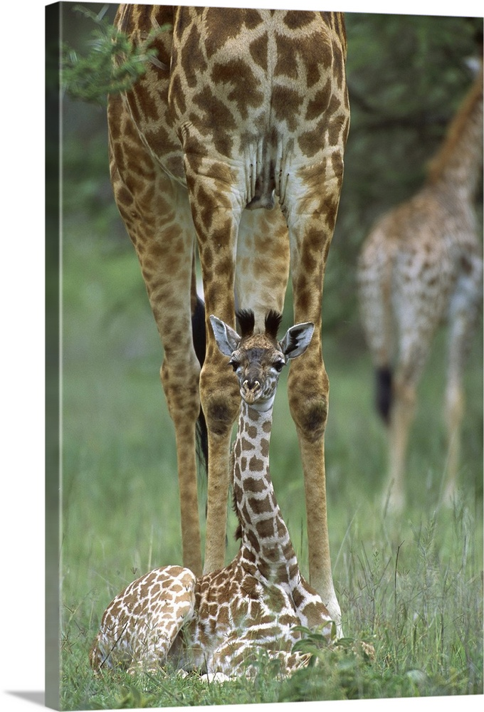 Large Gallery-Wrapped Canvas Wall Art Print 16 x 24 entitled Giraffe newborn calf near mother, Ngorongoro Conservation Are... Gallery-Wrapped Canvas entitled Giraffe newborn calf near mother Ngorongoro Conservation Area Tanzania Africa.  Giraffe newborn calf sitting near mother Ngorongoro Conservation Area Tanzania east Africa.  Multiple sizes available.  Primary colors within this image include Gray Silver Dark Forest Green.  Made in USA.  Satisfaction guaranteed.  Inks used are latex-based and designed to last.  Canvas frames are built with farmed or reclaimed domestic pine or poplar wood.  Canvases are stretched across a 1.5 inch thick wooden frame with easy-to-mount hanging hardware.