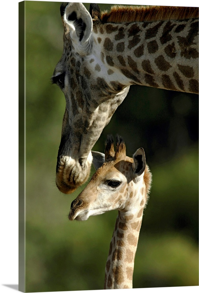 Large Gallery-Wrapped Canvas Wall Art Print 16 x 24 entitled Giraffe with baby, Okavango Delta, Botswana Gallery-Wrapped Canvas entitled Giraffe with baby Okavango Delta Botswana.  Photograph taken of a mother giraffe bending its head down toward her baby giraffe.  Multiple sizes available.  Primary colors within this image include Black Silver Dark Forest Green.  Made in USA.  All products come with a 365 day workmanship guarantee.  Archival-quality UV-resistant inks.  Canvas is acid-free and 20 millimeters thick.  Canvases are stretched across a 1.5 inch thick wooden frame with easy-to-mount hanging hardware.