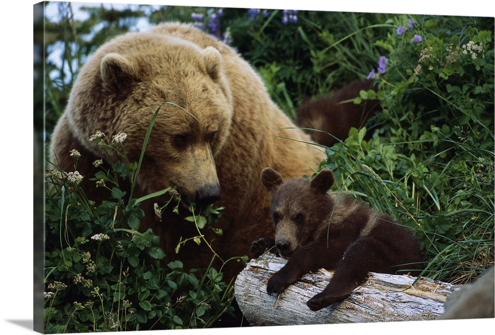 Large Gallery-Wrapped Canvas Wall Art Print 24 x 16 entitled Grizzly Bear mother and cubs, Katmai National Park, Alaska Gallery-Wrapped Canvas entitled Grizzly Bear mother and cubs Katmai National Park Alaska.  Multiple sizes available.  Primary colors within this image include Black Light Gray Pale Blue.  Made in the USA.  All products come with a 365 day workmanship guarantee.  Inks used are latex-based and designed to last.  Canvas frames are built with farmed or reclaimed domestic pine or poplar wood.  Canvases are stretched across a 1.5 inch thick wooden frame with easy-to-mount hanging hardware.