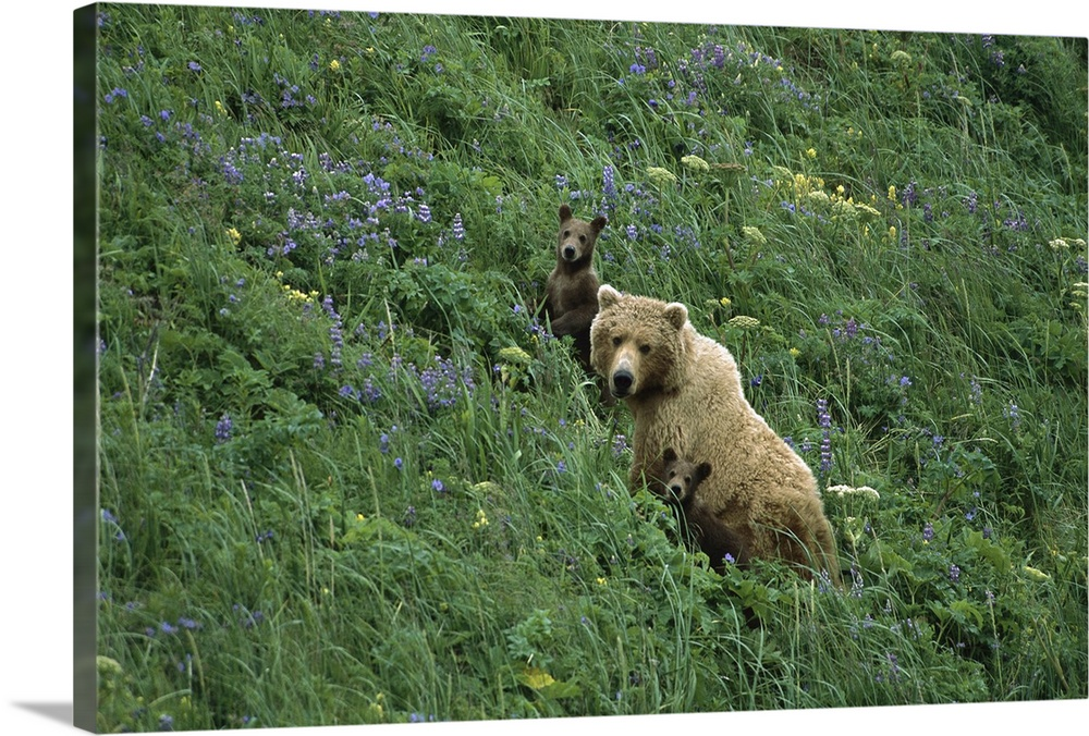 Large Gallery-Wrapped Canvas Wall Art Print 24 x 16 entitled Grizzly Bear mother and two cubs in meadow, Katmai National P... Gallery-Wrapped Canvas entitled Grizzly Bear mother and two cubs in meadow Katmai National Park Alaska.  Multiple sizes available.  Primary colors within this image include Light Yellow Black Dark Forest Green Light Gray Blue.  Made in USA.  Satisfaction guaranteed.  Inks used are latex-based and designed to last.  Canvases are stretched across a 1.5 inch thick wooden frame with easy-to-mount hanging hardware.  Museum-quality artist-grade canvas mounted on sturdy wooden stretcher bars 1.5 thick.  Comes ready to hang.