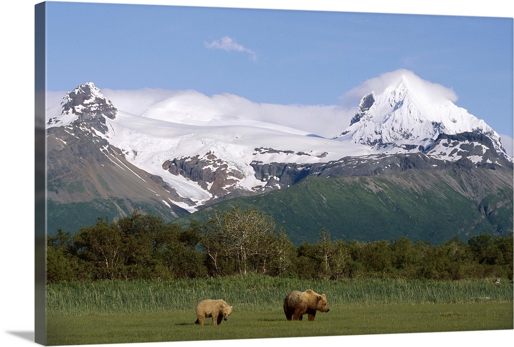 Large Gallery-Wrapped Canvas Wall Art Print 24 x 16 entitled Grizzly Bear mother and yearling cub, Katmai National Park, A... Gallery-Wrapped Canvas entitled Grizzly Bear mother and yearling cub Katmai National Park Alaska.  Multiple sizes available.  Primary colors within this image include Sky Blue Black Dark Forest Green.  Made in USA.  Satisfaction guaranteed.  Archival-quality UV-resistant inks.  Canvas is a 65 polyester 35 cotton base with two acrylic latex primer basecoats and a semi-gloss inkjet receptive topcoat.  Canvas frames are built with farmed or reclaimed domestic pine or poplar wood.