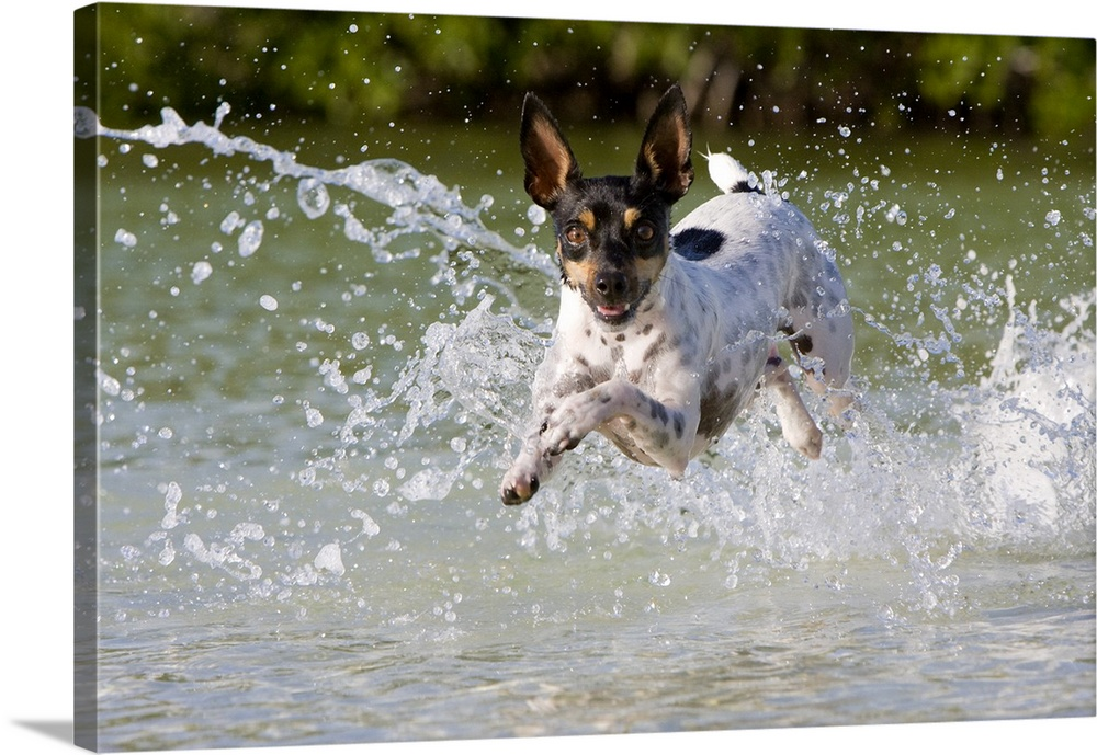 Large Gallery-Wrapped Canvas Wall Art Print 24 x 16 entitled Islamorada, Fl Gallery-Wrapped Canvas entitled Islamorada Fl.  Active Rat Terrier dog jumping out of the water looking at the camera.  Multiple sizes available.  Primary colors within this image include Dark Yellow Black Light Gray.  Made in USA.  All products come with a 365 day workmanship guarantee.  Archival-quality UV-resistant inks.  Canvas is a 65 polyester 35 cotton base with two acrylic latex primer basecoats and a semi-gloss inkjet receptive topcoat.  Canvas is designed to prevent fading.