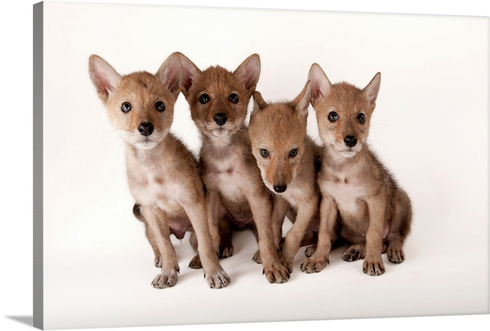Large Gallery-Wrapped Canvas Wall Art Print 24 x 16 entitled Lincoln, Nebraska. Coyote puppies, Canis latrans, at Nebraska... Gallery-Wrapped Canvas entitled Lincoln Nebraska. Coyote puppies Canis latrans at Nebraska Wildlife Rehab.  color image photography studio shot no people four animals front view full length looking at camera wildlife animal theme animal portrait coyote captivity mammals american jackal prairie wolf wild dogs canine canis latrans cute young juvenile pups puppies white background copy space nebraska wildlife rehab lincoln nebraska usa.  Multiple sizes available.  Primary colors within this image include Black Light Gray White.  Made in the USA.  Satisfaction guaranteed.  Inks used are latex-based and designed to last.  Canvas is acid-free and 20 millimeters thick.  Canvas frames are built with farmed or reclaimed domestic pine or poplar wood.