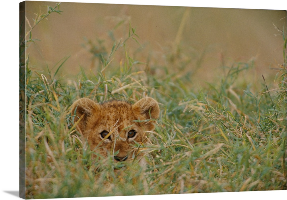 Large Gallery-Wrapped Canvas Wall Art Print 24 x 16 entitled Masai Mara National Reserve, Kenya Gallery-Wrapped Canvas entitled Masai Mara National Reserve Kenya.  An African lion Panthera leo cub peers at the camera through the grass.  Multiple sizes available.  Primary colors within this image include Black Light Gray.  Made in USA.  All products come with a 365 day workmanship guarantee.  Inks used are latex-based and designed to last.  Canvas is a 65 polyester 35 cotton base with two acrylic latex primer basecoats and a semi-gloss inkjet receptive topcoat.  Canvases are stretched across a 1.5 inch thick wooden frame with easy-to-mount hanging hardware.