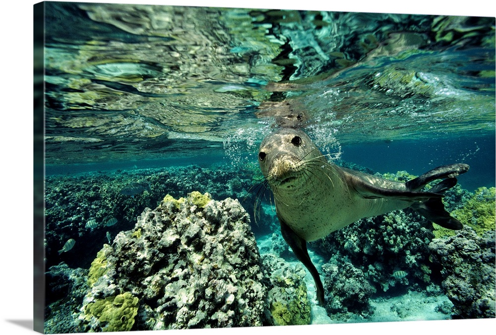 Large Gallery-Wrapped Canvas Wall Art Print 24 x 16 entitled Monk seal in a coral sea reef, Hawaiian Islands National Wild... Gallery-Wrapped Canvas entitled Monk seal in a coral sea reef Hawaiian Islands National Wildlife Refuge.  Horizontal underwater photograph from the National Geographic Collection of a monk seal swimming among coral toward the camera just below the surface of the water in the Hawaiian Islands National Wildlife Refuge.  Multiple sizes available.  Primary colors within this image include Dark Gray Silver.  Made in the USA.  Satisfaction guaranteed.  Archival-quality UV-resistant inks.  Canvases are stretched across a 1.5 inch thick wooden frame with easy-to-mount hanging hardware.  Canvas is acid-free and 20 millimeters thick.