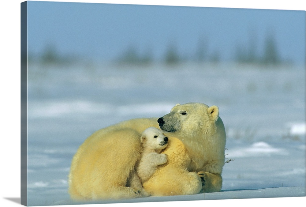 Large Gallery-Wrapped Canvas Wall Art Print 24 x 16 entitled Mother and cub polar bear nestle together for warmth Gallery-Wrapped Canvas entitled Mother and cub polar bear nestle together for warmth.  Mother and cub polar bear Ursus maritimus nestle together for warmth while resting along the arctic landscape.  Multiple sizes available.  Primary colors within this image include Peach Dark Forest Green Light Gray Blue.  Made in USA.  All products come with a 365 day workmanship guarantee.  Archival-quality UV-resistant inks.  Canvas frames are built with farmed or reclaimed domestic pine or poplar wood.  Canvas is a 65 polyester 35 cotton base with two acrylic latex primer basecoats and a semi-gloss inkjet receptive topcoat.