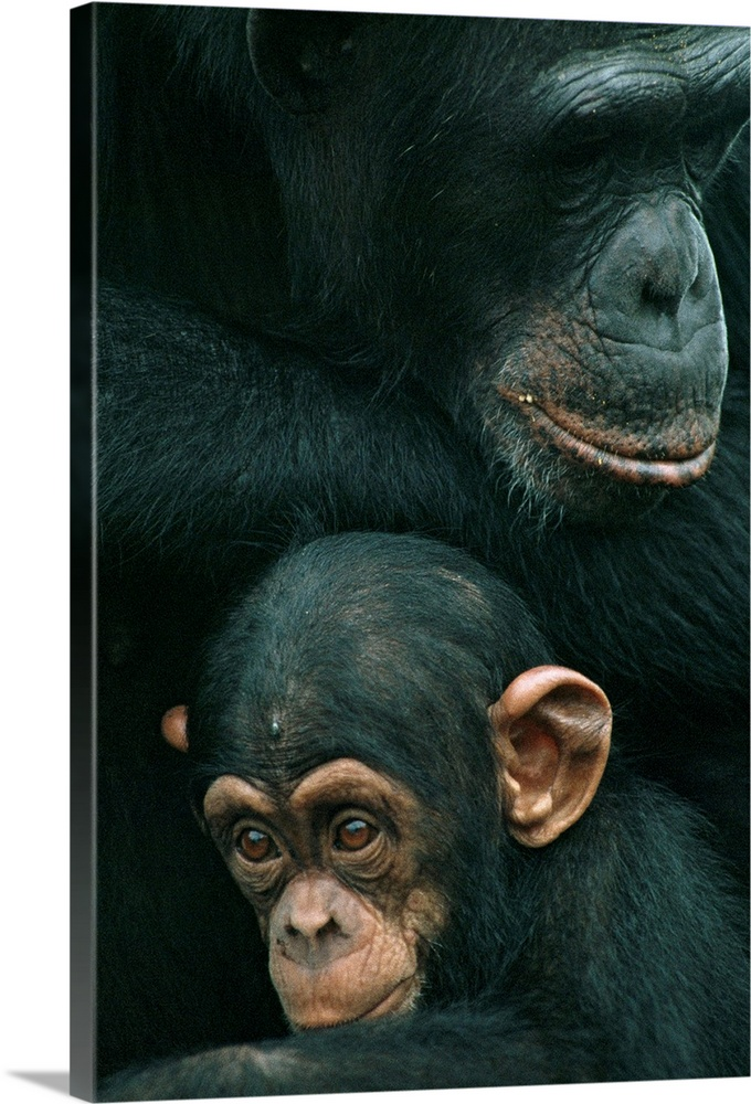 Large Gallery-Wrapped Canvas Wall Art Print 16 x 24 entitled Mother chimp and baby chimp, Liberia, West Africa Gallery-Wrapped Canvas entitled Mother chimp and baby chimp Liberia West Africa.  Multiple sizes available.  Primary colors within this image include Black Light Gray.  Made in USA.  Satisfaction guaranteed.  Archival-quality UV-resistant inks.  Canvases are stretched across a 1.5 inch thick wooden frame with easy-to-mount hanging hardware.  Canvas is acid-free and 20 millimeters thick.