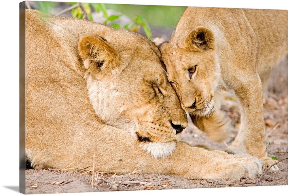 Large Gallery-Wrapped Canvas Wall Art Print 24 x 16 entitled Mother lion and her cub nuzzling, Botswana, Africa Gallery-Wrapped Canvas entitled Mother lion and her cub nuzzling Botswana Africa.  From the National Geographic Collection.  Photograph of mother and baby wildcat head-butting each other.  Multiple sizes available.  Primary colors within this image include Brown Peach Black Lime Green.  Made in USA.  All products come with a 365 day workmanship guarantee.  Archival-quality UV-resistant inks.  Canvas frames are built with farmed or reclaimed domestic pine or poplar wood.  Canvas is acid-free and 20 millimeters thick.