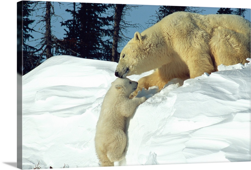 Large Gallery-Wrapped Canvas Wall Art Print 24 x 16 entitled Mother polar bear coaxes her cub up a snow bank, Wapusk Natio... Gallery-Wrapped Canvas entitled Mother polar bear coaxes her cub up a snow bank Wapusk National Park Manitoba Canada.  Landscape photograph from the National Geographic Collection of a mother polar bear helping her cub to climb a snow bank in Wapusk National Park Manitoba Canada.  Multiple sizes available.  Primary colors within this image include Black Silver Dark Forest Green.  Made in USA.  All products come with a 365 day workmanship guarantee.  Inks used are latex-based and designed to last.  Canvases are stretched across a 1.5 inch thick wooden frame with easy-to-mount hanging hardware.  Canvas is a 65 polyester 35 cotton base with two acrylic latex primer basecoats and a semi-gloss inkjet receptive topcoat.