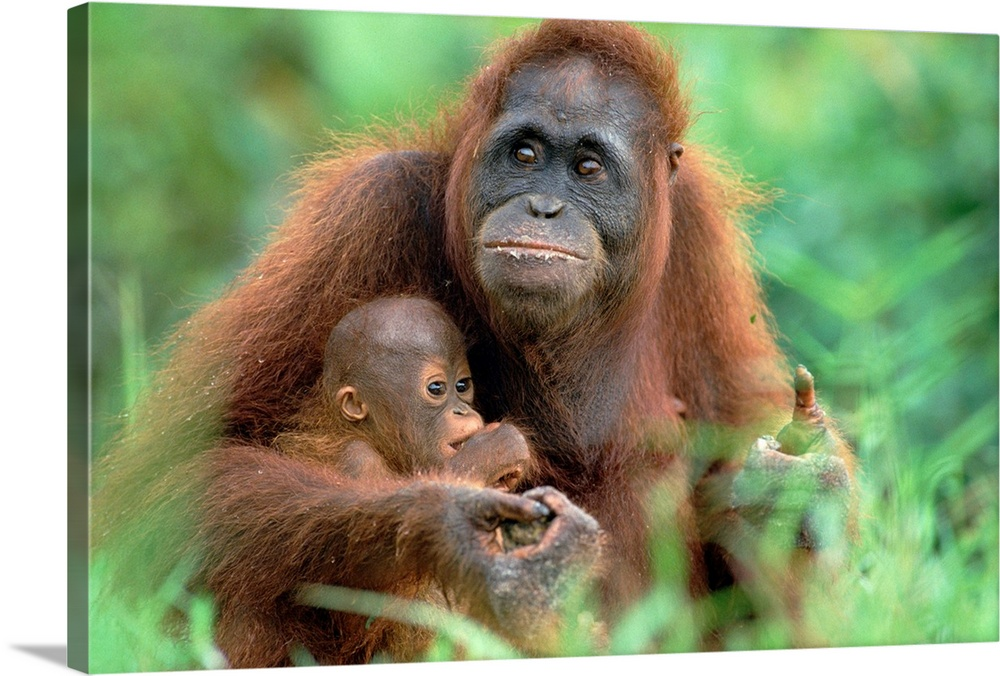 Large Gallery-Wrapped Canvas Wall Art Print 24 x 16 entitled Orangutan mother with baby, Tanjung Puting National Park, Borneo Gallery-Wrapped Canvas entitled Orangutan mother with baby Tanjung Puting National Park Borneo.  Multiple sizes available.  Primary colors within this image include Forest Green Dark Gray.  Made in the USA.  Satisfaction guaranteed.  Inks used are latex-based and designed to last.  Canvas is designed to prevent fading.  Canvas frames are built with farmed or reclaimed domestic pine or poplar wood.