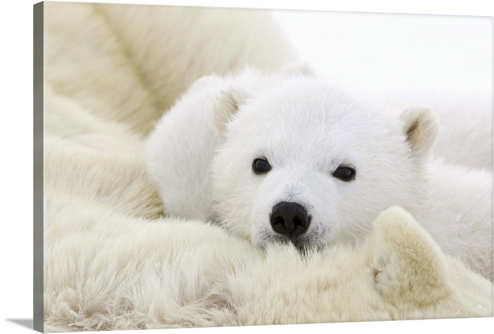 Large Gallery-Wrapped Canvas Wall Art Print 24 x 16 entitled Polar Bear cub cuddling against mother's body Wapusk National... Gallery-Wrapped Canvas entitled Polar Bear cub cuddling against mothers body Wapusk National Park Manitoba.  Polar Bear three to four month old cub cuddling against mothers body while she is tranquilized by researchers vulnerable Wapusk National Park Manitoba Canada.  Multiple sizes available.  Primary colors within this image include Dark Gray Light Gray White.  Made in USA.  Satisfaction guaranteed.  Inks used are latex-based and designed to last.  Canvases have a UVB protection built in to protect against fading and moisture and are designed to last for over 100 years.  Canvas is designed to prevent fading.