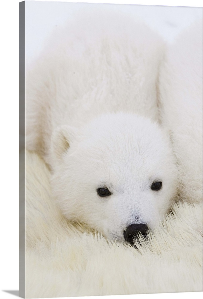 Large Gallery-Wrapped Canvas Wall Art Print 16 x 24 entitled Polar Bear cub cuddling against mother's body Wapusk National... Gallery-Wrapped Canvas entitled Polar Bear cub cuddling against mothers body Wapusk National Park Manitoba.  Polar Bear three to four month old cub cuddling against mothers body while she is tranquilized by researchers vulnerable Wapusk National Park Manitoba Canada.  Multiple sizes available.  Primary colors within this image include Dark Gray Light Gray White.  Made in the USA.  All products come with a 365 day workmanship guarantee.  Inks used are latex-based and designed to last.  Canvases are stretched across a 1.5 inch thick wooden frame with easy-to-mount hanging hardware.  Canvas is designed to prevent fading.
