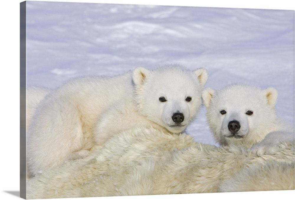 Large Gallery-Wrapped Canvas Wall Art Print 24 x 16 entitled Polar Bear cubs on top of their mother, Wapusk National Park,... Gallery-Wrapped Canvas entitled Polar Bear cubs on top of their mother Wapusk National Park Manitoba Canada.  Polar Bear three to four month old triplet cubs on top of their mother after she is tranquilized by researchers Wapusk vulnerable.  Multiple sizes available.  Primary colors within this image include Black Gray Silver.  Made in USA.  Satisfaction guaranteed.  Archival-quality UV-resistant inks.  Canvases have a UVB protection built in to protect against fading and moisture and are designed to last for over 100 years.  Canvas is a 65 polyester 35 cotton base with two acrylic latex primer basecoats and a semi-gloss inkjet receptive topcoat.