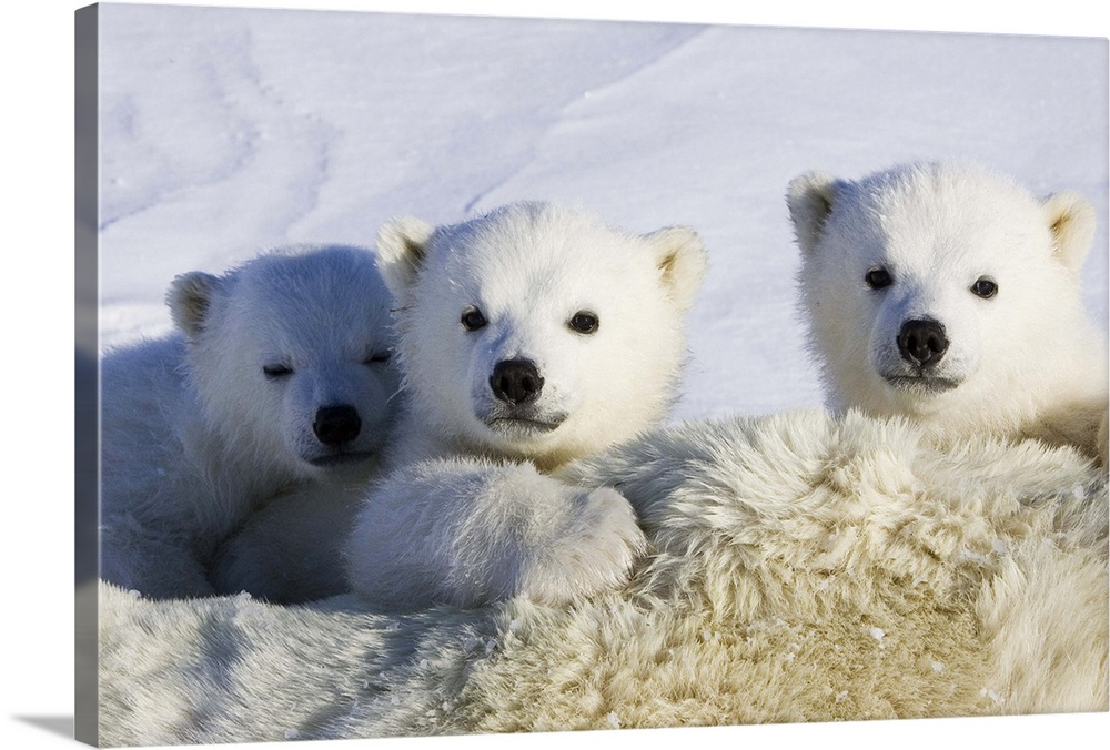 Large Gallery-Wrapped Canvas Wall Art Print 24 x 16 entitled Polar Bear cubs peeking over mother, Wapusk National Park, Ma... Gallery-Wrapped Canvas entitled Polar Bear cubs peeking over mother Wapusk National Park Manitoba Canada.  Polar Bear three to four month old cubs peeking over mother while she is tranquilized by researchers vulnerable Wapusk National Park Manitoba Canada.  Multiple sizes available.  Primary colors within this image include Dark Gray Light Gray Silver.  Made in the USA.  All products come with a 365 day workmanship guarantee.  Archival-quality UV-resistant inks.  Canvas is acid-free and 20 millimeters thick.  Canvas frames are built with farmed or reclaimed domestic pine or poplar wood.