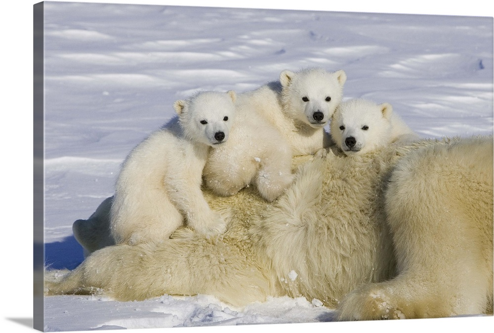 Large Gallery-Wrapped Canvas Wall Art Print 24 x 16 entitled Polar Bear triplet cubs on top of their mother, Wapusk Nation... Gallery-Wrapped Canvas entitled Polar Bear triplet cubs on top of their mother Wapusk National Park Manitoba Canada.  Polar Bear three to four month old triplet cubs on top of their mother after she is tranquilized by researchers vulnerable Wapusk National Park Manitoba Canada.  Multiple sizes available.  Primary colors within this image include Black Gray Silver Muted Blue.  Made in USA.  All products come with a 365 day workmanship guarantee.  Archival-quality UV-resistant inks.  Canvas is designed to prevent fading.  Canvases have a UVB protection built in to protect against fading and moisture and are designed to last for over 100 years.