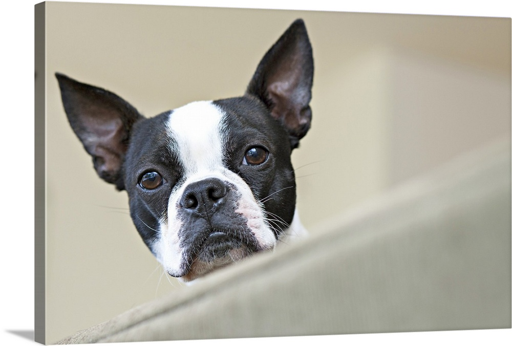 Large Solid-Faced Canvas Print Wall Art Print 30 x 20 entitled Portrait of a pet Boston terrier, looking down over the edg... Solid-Faced Canvas Print entitled Portrait of a pet Boston terrier, looking down over the edge of a sofa.  Manassas, Virginia.  Multiple sizes available.  Primary colors within this image include Dark Gray, Silver.  Made in USA.  Satisfaction guaranteed.  Inks used are latex-based and designed to last.  Canvas is handcrafted and made-to-order in the United States using high quality artist-grade canvas.  Canvas depth is 1.25 and includes a finished backing with pre-installed hanging hardware.