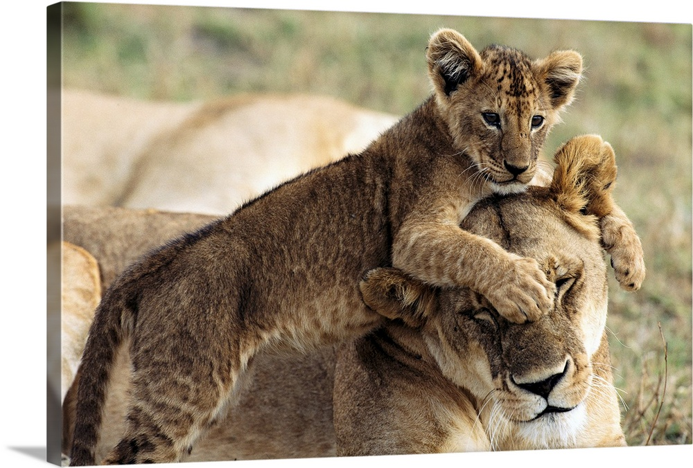 Large Gallery-Wrapped Canvas Wall Art Print 24 x 16 entitled Seven-week-old lion cub with mother, Masai Mara National Rese... Gallery-Wrapped Canvas entitled Seven-week-old lion cub with mother Masai Mara National Reserve Kenya.  In this National Geographic photo a young lion cub jumps on the head of its mother in the Masai Mara National Reserve in Kenya.  Multiple sizes available.  Primary colors within this image include Dark Gray Light Gray.  Made in USA.  Satisfaction guaranteed.  Inks used are latex-based and designed to last.  Canvases are stretched across a 1.5 inch thick wooden frame with easy-to-mount hanging hardware.  Canvas frames are built with farmed or reclaimed domestic pine or poplar wood.