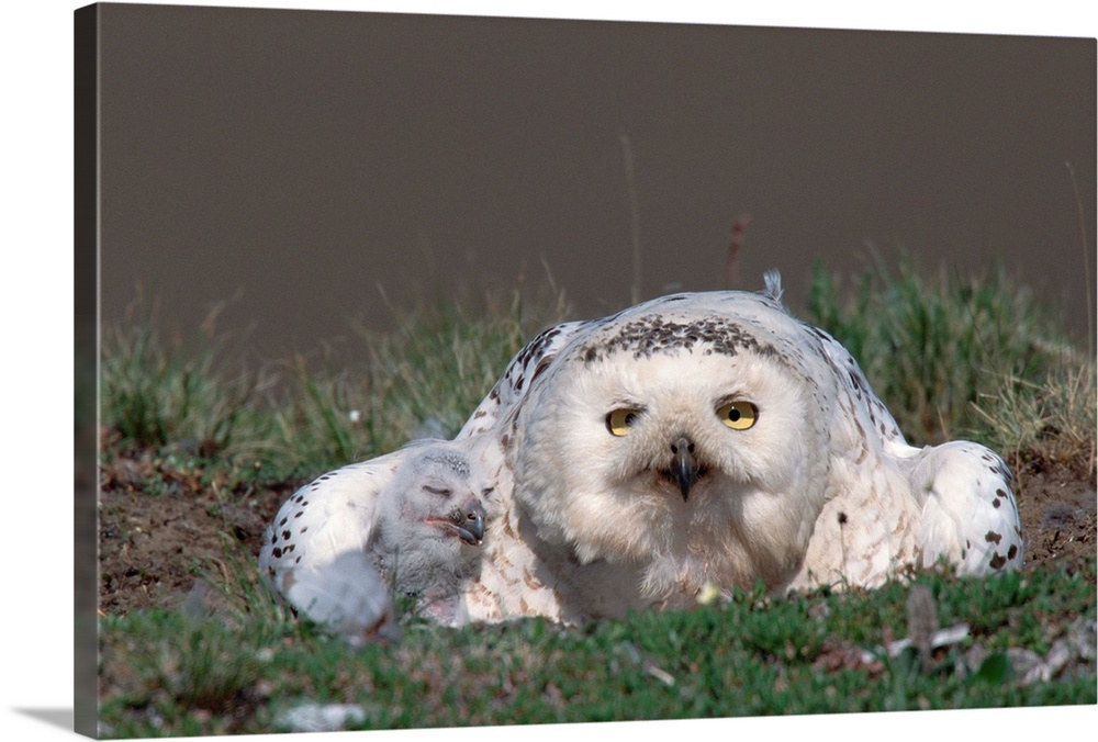 Large Gallery-Wrapped Canvas Wall Art Print 24 x 16 entitled Snowy Owl mother at nest with chick, Taymyr Peninsula, Russia Gallery-Wrapped Canvas entitled Snowy Owl mother at nest with chick Taymyr Peninsula Russia.  Multiple sizes available.  Primary colors within this image include Gray Silver.  Made in USA.  All products come with a 365 day workmanship guarantee.  Archival-quality UV-resistant inks.  Canvas is a 65 polyester 35 cotton base with two acrylic latex primer basecoats and a semi-gloss inkjet receptive topcoat.  Canvas is designed to prevent fading.