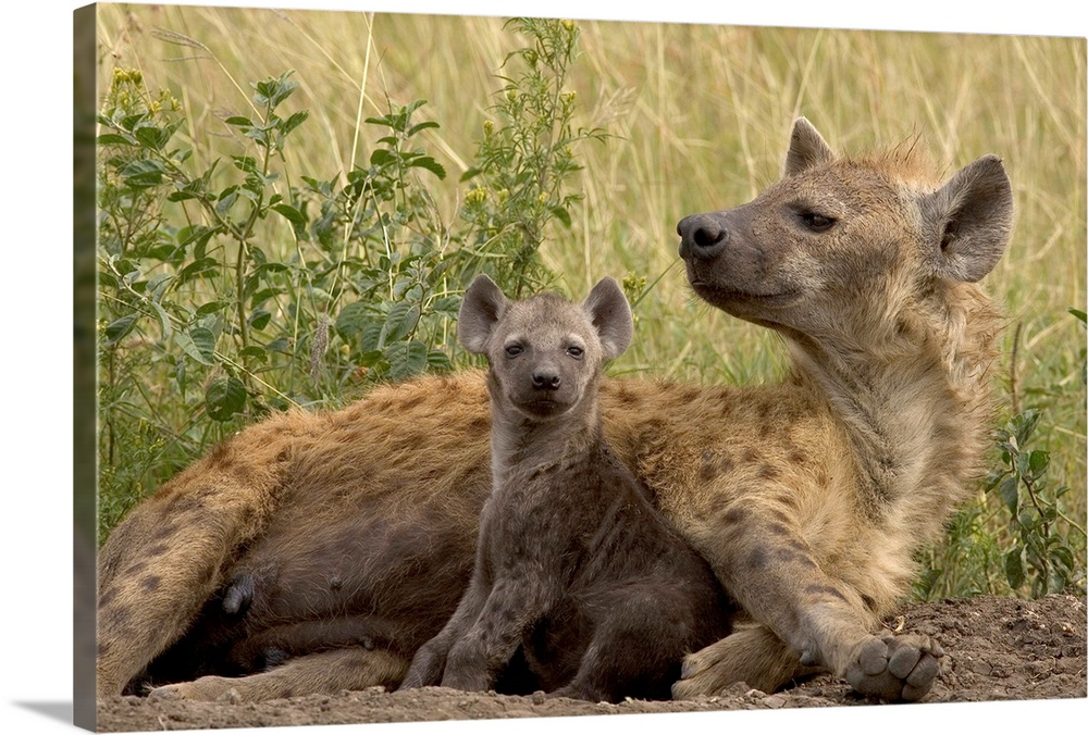 Large Gallery-Wrapped Canvas Wall Art Print 24 x 16 entitled Spotted Hyena mother with young, Masai Mara Reserve, Kenya Gallery-Wrapped Canvas entitled Spotted Hyena mother with young Masai Mara Reserve Kenya.  Multiple sizes available.  Primary colors within this image include Peach Black Dark Forest Green.  Made in the USA.  Satisfaction guaranteed.  Archival-quality UV-resistant inks.  Canvas is designed to prevent fading.  Canvas is acid-free and 20 millimeters thick.