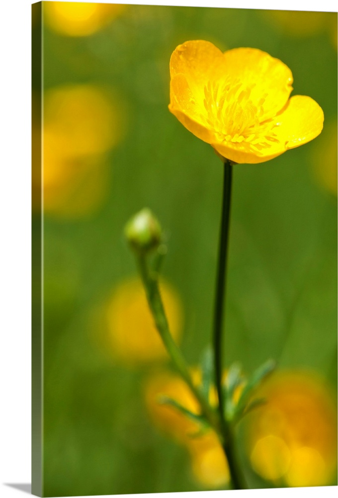 Large Solid-Faced Canvas Print Wall Art Print 20 x 30 entitled Spring time buttercup flowers Solid-Faced Canvas Print entitled Spring time buttercup flowers.  Spring time buttercup flowers.  Multiple sizes available.  Primary colors within this image include Orange, Yellow, Dark Yellow, Dark Forest Green.  Made in USA.  Satisfaction guaranteed.  Inks used are latex-based and designed to last.  Canvas depth is 1.25 and includes a finished backing with pre-installed hanging hardware.  Featuring a proprietary design, our canvases produce the tightest corners without any bubbles, ripples, or bumps and will not warp or sag over time.
