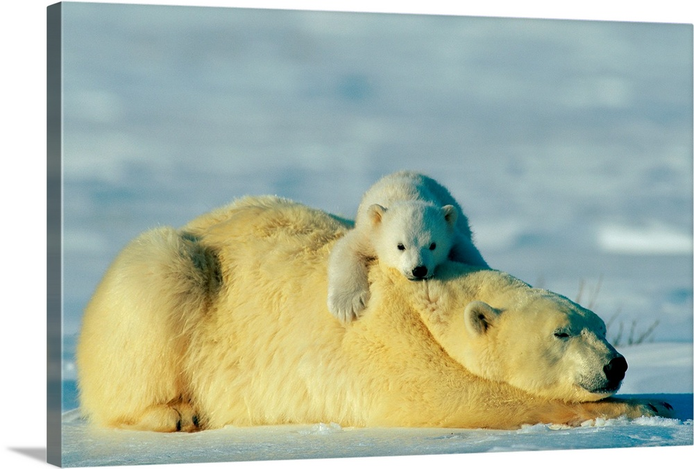 Large Gallery-Wrapped Canvas Wall Art Print 24 x 16 entitled This young polar bear cub rests atop his mother Gallery-Wrapped Canvas entitled This young polar bear cub rests atop his mother.  Multiple sizes available.  Primary colors within this image include Peach Black Light Gray.  Made in USA.  Satisfaction guaranteed.  Archival-quality UV-resistant inks.  Canvas frames are built with farmed or reclaimed domestic pine or poplar wood.  Canvas is a 65 polyester 35 cotton base with two acrylic latex primer basecoats and a semi-gloss inkjet receptive topcoat.