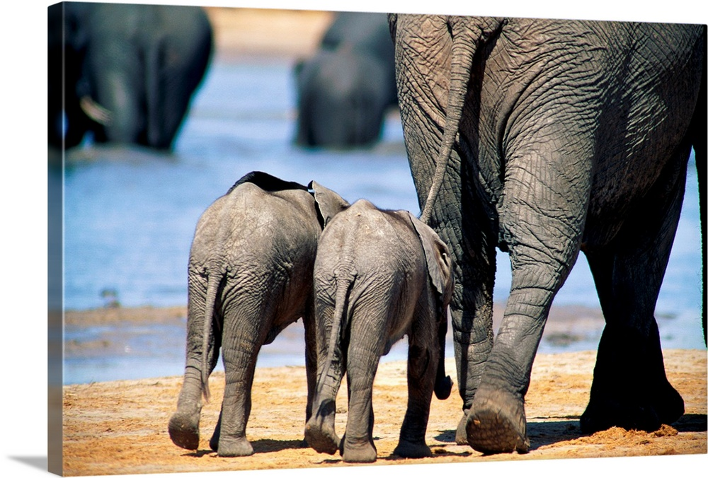 Large Gallery-Wrapped Canvas Wall Art Print 24 x 16 entitled Two elephant calves and their mother, Chobe National Park, Bo... Gallery-Wrapped Canvas entitled Two elephant calves and their mother Chobe National Park Botswana.  This horizontal photograph from the National Geographic Collection shows a mother elephant and two babies walking away from the camera towards a watering hole.  Multiple sizes available.  Primary colors within this image include Sky Blue Black Gray White.  Made in the USA.  Satisfaction guaranteed.  Archival-quality UV-resistant inks.  Canvas frames are built with farmed or reclaimed domestic pine or poplar wood.  Canvas is acid-free and 20 millimeters thick.