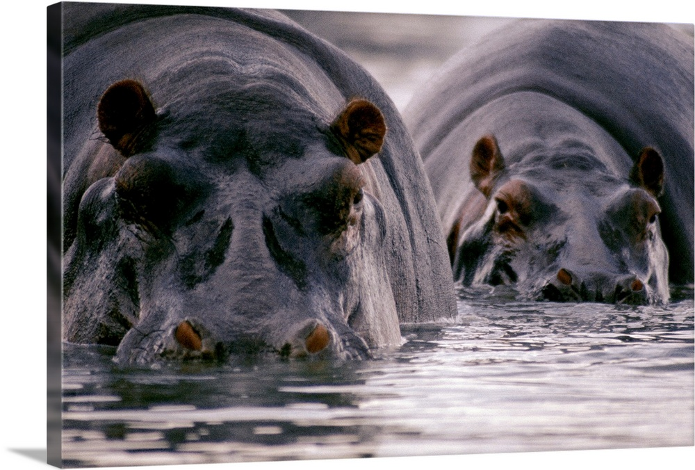 Large Gallery-Wrapped Canvas Wall Art Print 24 x 16 entitled Two hippopotamuses stare at the camera, Ruwenzori National Pa... Gallery-Wrapped Canvas entitled Two hippopotamuses stare at the camera Ruwenzori National Park Uganda.  Multiple sizes available.  Primary colors within this image include Dark Gray Silver.  Made in USA.  Satisfaction guaranteed.  Inks used are latex-based and designed to last.  Canvases are stretched across a 1.5 inch thick wooden frame with easy-to-mount hanging hardware.  Canvas is a 65 polyester 35 cotton base with two acrylic latex primer basecoats and a semi-gloss inkjet receptive topcoat.