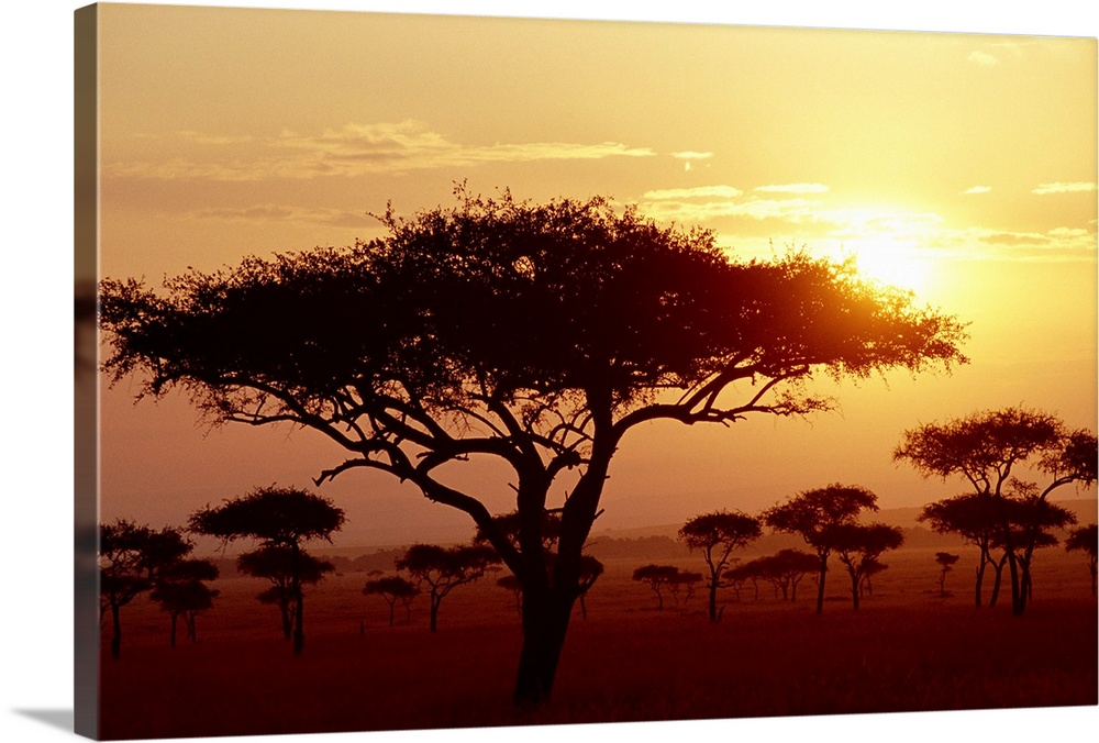 Large Gallery-Wrapped Canvas Wall Art Print 24 x 16 entitled Umbrella Acacia trees at sunrise on savannah, Masai Mara Game... Gallery-Wrapped Canvas entitled Umbrella Acacia trees at sunrise on savannah, Masai Mara Game Reserve, Kenya.  Umbrella Acacia Acacia tortills,  trees at sunrise on savannah, Masai Mara Game Reserve, Kenya.  Multiple sizes available.  Primary colors within this image include Dark Red, Peach, Black.  Made in the USA.  Satisfaction guaranteed.  Archival-quality UV-resistant inks.  Canvases have a UVB protection built in to protect against fading and moisture and are designed to last for over 100 years.  Canvas is a 65 polyester, 35 cotton base, with two acrylic latex primer basecoats and a semi-gloss inkjet receptive topcoat.