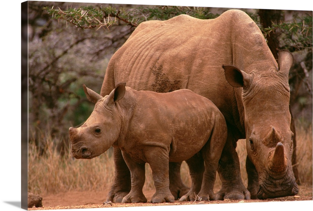 Large Gallery-Wrapped Canvas Wall Art Print 24 x 16 entitled White Rhinoceros mother with calf, Lewa Wildlife Conservancy,... Gallery-Wrapped Canvas entitled White Rhinoceros mother with calf Lewa Wildlife Conservancy Kenya.  White Rhinoceros mother with calf endangered Lewa Wildlife Conservancy Kenya.  Multiple sizes available.  Primary colors within this image include Gray Dark Forest Green.  Made in USA.  All products come with a 365 day workmanship guarantee.  Inks used are latex-based and designed to last.  Canvas is a 65 polyester 35 cotton base with two acrylic latex primer basecoats and a semi-gloss inkjet receptive topcoat.  Canvas is designed to prevent fading.
