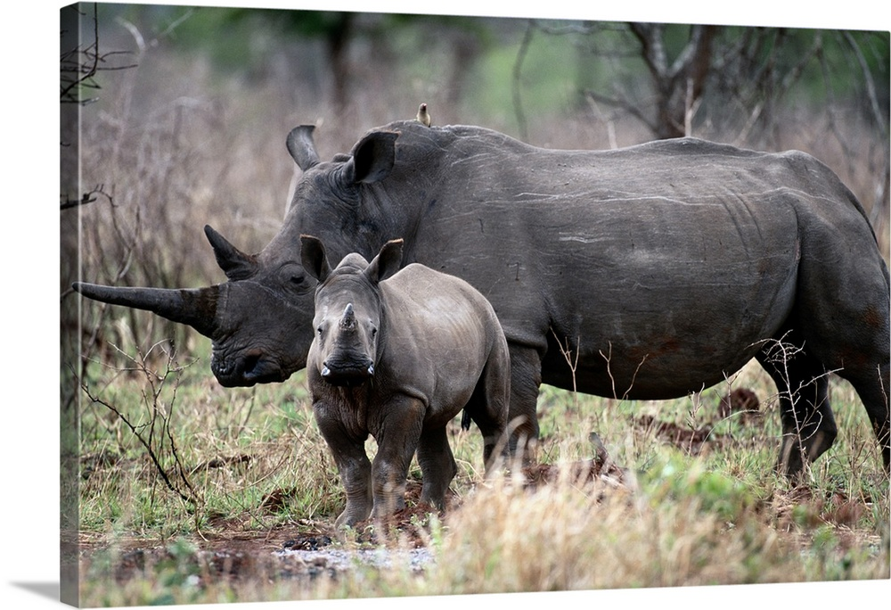 Large Solid-Faced Canvas Print Wall Art Print 30 x 20 entitled Bath Time Solid-Faced Canvas Print entitled Bath Time.  White Rhinoceros, Phinda Reserve, South Africa.  Multiple sizes available.  Primary colors within this image include Black, Gray, Silver.  Made in USA.  Satisfaction guaranteed.  Inks used are latex-based and designed to last.  Canvas depth is 1.25 and includes a finished backing with pre-installed hanging hardware.  Featuring a proprietary design, our canvases produce the tightest corners without any bubbles, ripples, or bumps and will not warp or sag over time.