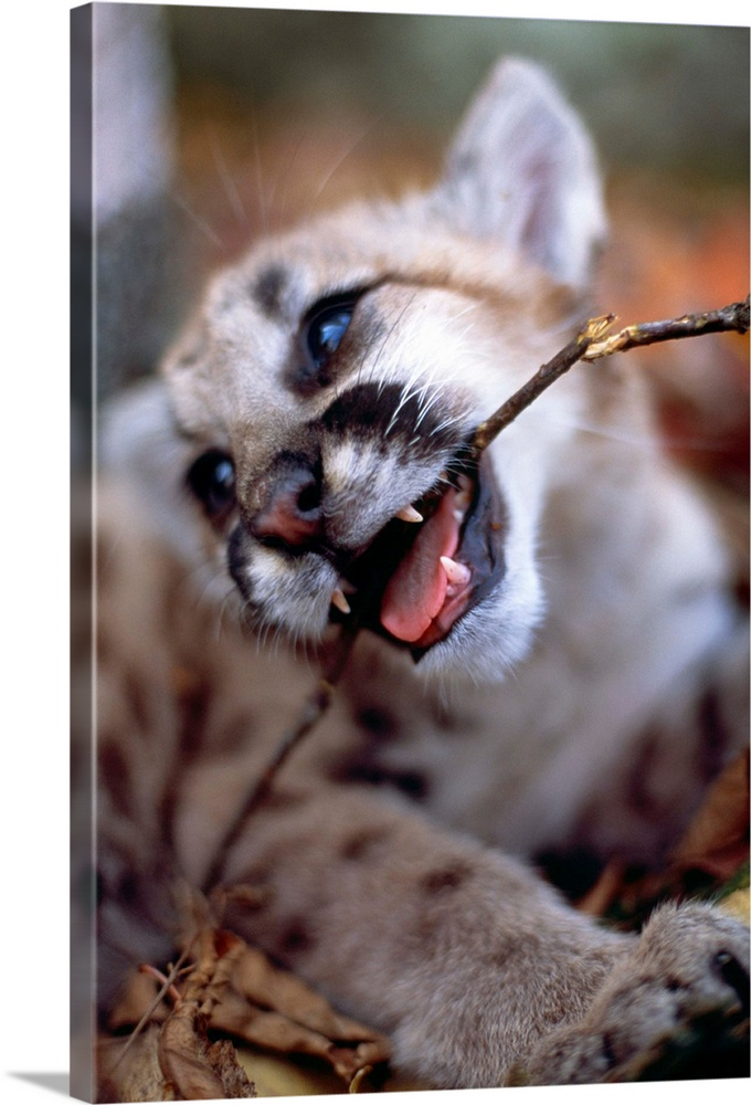 Large Solid-Faced Canvas Print Wall Art Print 20 x 30 entitled Chew Toy Solid-Faced Canvas Print entitled Chew Toy.  COUGAR CUB.  Multiple sizes available.  Primary colors within this image include Black, Gray, Pale Blue.  Made in the USA.  Satisfaction guaranteed.  Inks used are latex-based and designed to last.  Canvas depth is 1.25 and includes a finished backing with pre-installed hanging hardware.  Archival inks prevent fading and preserve as much fine detail as possible with no over-saturation or color shifting.