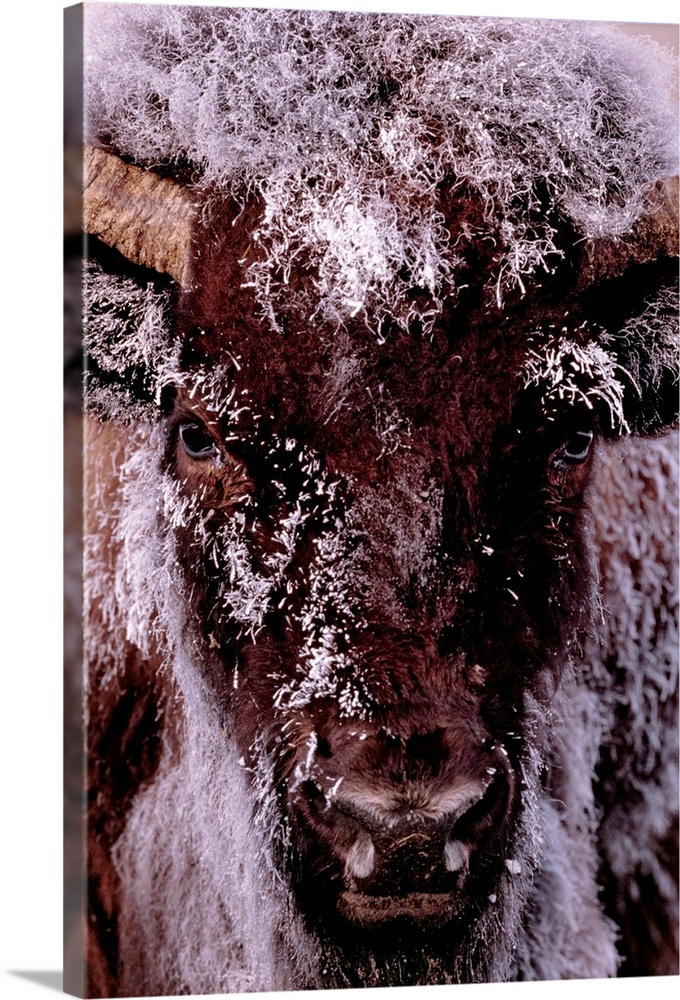 Large Gallery-Wrapped Canvas Wall Art Print 16 x 24 entitled Chillin Gallery-Wrapped Canvas entitled Chillin.  Tall canvas photo of a buffalo with snow covering its fur looking towards the camera.  Multiple sizes available.  Primary colors within this image include Black Gray Silver.  Made in the USA.  Satisfaction guaranteed.  Archival-quality UV-resistant inks.  Canvas is acid-free and 20 millimeters thick.  Canvas frames are built with farmed or reclaimed domestic pine or poplar wood.
