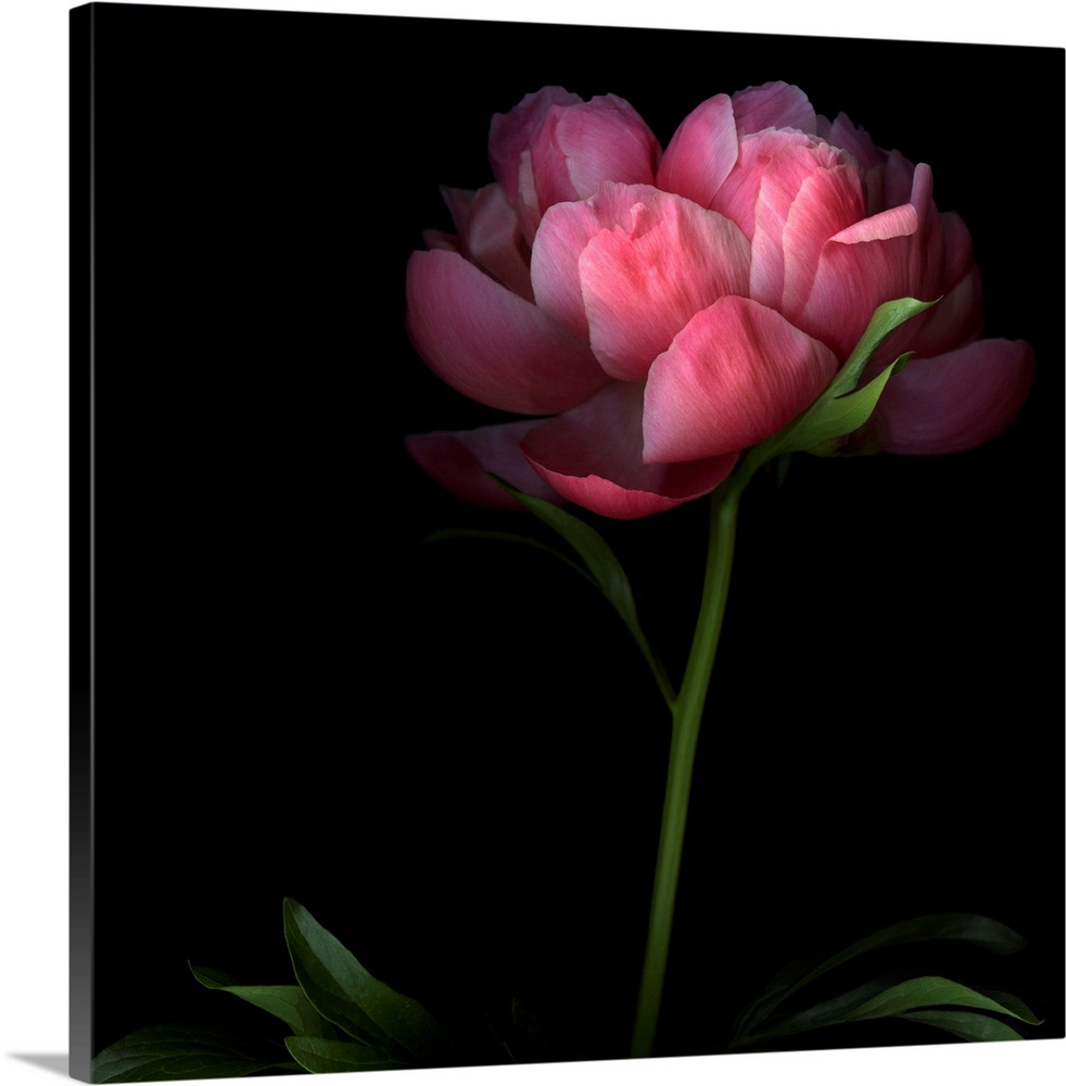 Large Solid-Faced Canvas Print Wall Art Print 20 x 20 entitled Peony Solid-Faced Canvas Print entitled Peony.  Large, square, fine art photograph of a single peony flower on a long stem, its edges shadowed by a solid black background.  Multiple sizes available.  Primary colors within this image include Forest Green, Plum, Pink, Black.  Made in the USA.  All products come with a 365 day workmanship guarantee.  Inks used are latex-based and designed to last.  Archival inks prevent fading and preserve as much fine detail as possible with no over-saturation or color shifting.  Canvas depth is 1.25 and includes a finished backing with pre-installed hanging hardware.
