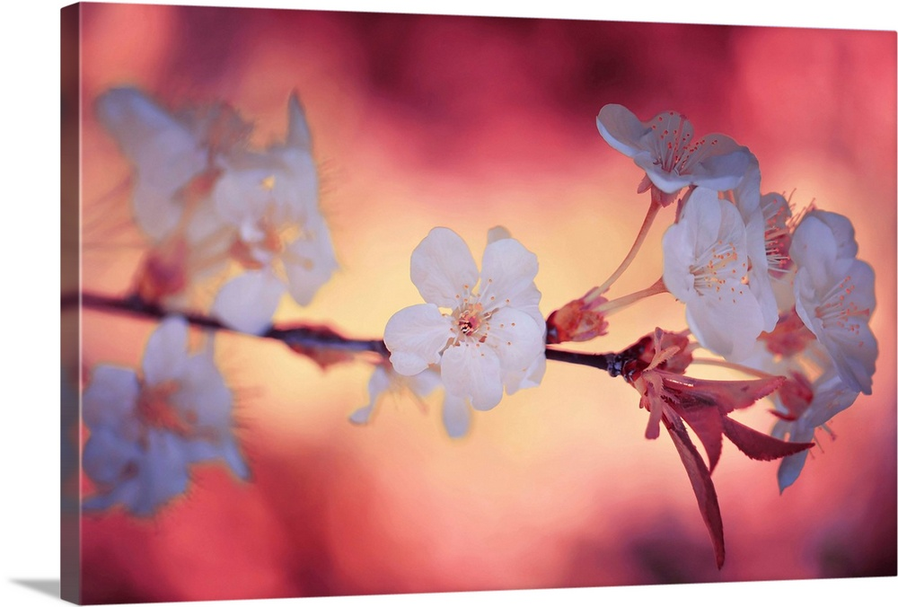 Large Solid-Faced Canvas Print Wall Art Print 30 x 20 entitled Spring Time II Solid-Faced Canvas Print entitled Spring Time II.  Large photo on canvas of a flowering tree branch.  Multiple sizes available.  Primary colors within this image include Plum, Peach, Dark Gray, Light Gray.  Made in USA.  All products come with a 365 day workmanship guarantee.  Inks used are latex-based and designed to last.  Canvas is handcrafted and made-to-order in the United States using high quality artist-grade canvas.  Canvas depth is 1.25 and includes a finished backing with pre-installed hanging hardware.